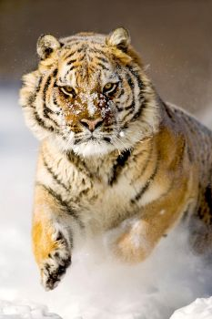 Siberian Tiger 5 by catman-suha
