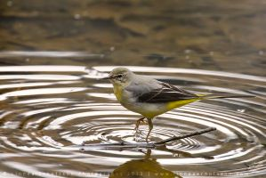 Grey Wagtail by linneaphoto