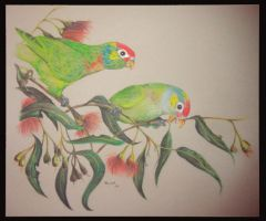 Varied Lorikeets by Sasquatch69