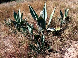agaves in the hot dry sand by Connum
