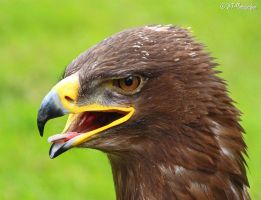 steppe eagle 2 by MT-Photografien