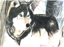 Colored Pencil Wolf by Natefurry