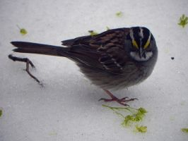 white throated sparrow by Lou-in-Canada