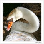 A swan with white moustache... by Michel-Lag-Chavarria