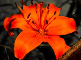 Tiger Lily II by aydonis