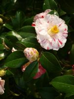 Variegated Camellia Stock 09 by botanystock