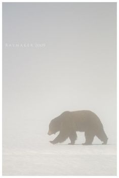 Grizzly in the Mist by Raymaker