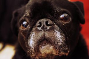 Pug Nose by LDFranklin