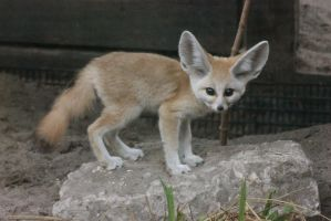 Young Fennec Fox by RhiskandPeril