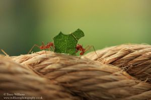 Leaf Cutter Ant by twilliamsphotography