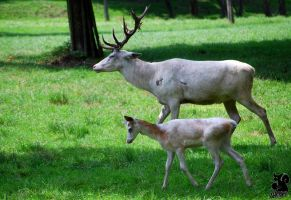 White Bambi with his father? by Allerlei