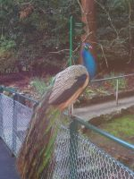 Posing Peacock by slayer20