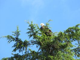 Bald Eagle 1 by Cam-s-creations