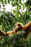 Gibbon in the Trees by Shadow-and-Flame-86