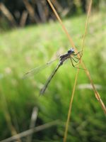 Damsel Fly. by nikkiea23