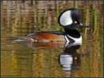Hooded Merganser Male 2 by EWilloughby