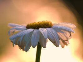 marguerite by Bodghia