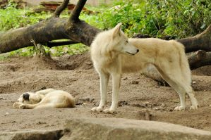 2013 August: Wolves in Berlin 6 by windfuchs