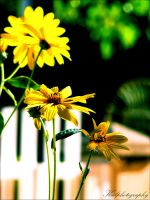 Daisies by KCELphotography