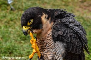 Ironfest - Life on Mars 2014 - Birds of prey by BioVenomImagery