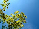 ragwort and blue sky by graphic-rusty