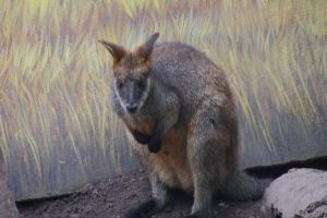 You can Never escape from the Swamp Wallaby! by Dinalfos5