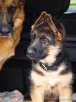 GSD Pup. by ChessW24