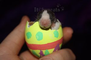 easter surprise by Itchys-rats