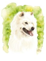 Anko the Samoyede by saraquarelle