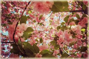 Cherry Blossoms by Xovin