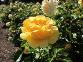 Yellow Rose by Spinian