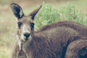 Wild Kangaroo by apparate