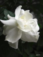 Beautiful Gardenia 2 by ChristopherinMexico