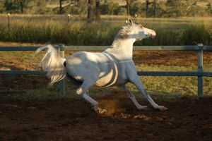 JA Arab Grey Stopping front legs firm by Chunga-Stock