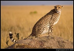 CHEETAH by dogansoysal