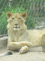 African Lion - Juvenile, Pose For Me by ILoveCP