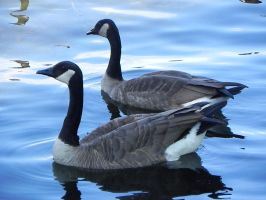 Canada Geese 005 by presterjohn1