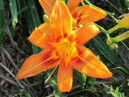 Camera Test 1-Tiger Lily by RedFangedDemon