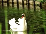 Swan1 by mrscats