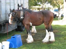 Animal Stock - Horse 4 Clysdale by Spyderwitch