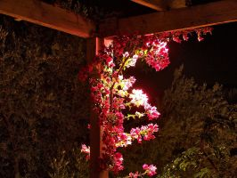 Bougainvillea by Korpsus