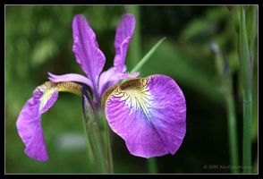 Purple Iris by AlexCphoto
