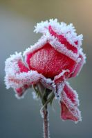 the winter rose by dalYana