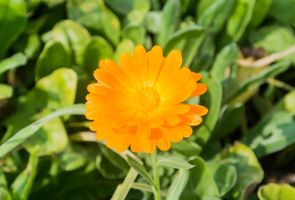 Solitary Marigold by TheBigDaveC