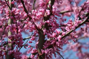 Redbud 5 by edgyqueen