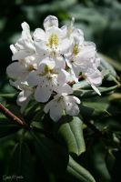 rhododendron by Pekausis
