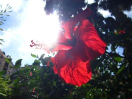 red flower by Huanc
