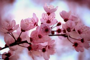 Cherry Blossom by HappilyInsane
