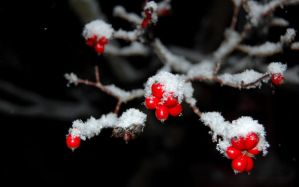 snow berries. by StillSouthern