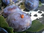 Ladybug on a plum by miloduh